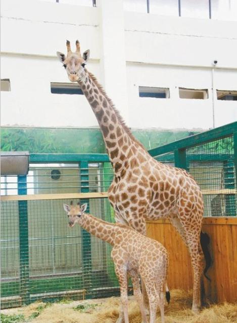 """东营动物园长颈鹿妈妈喜得""""千金"""" 动物园有奖征名"""