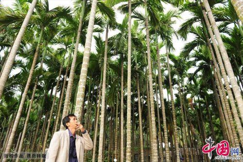 海南琼海拍摄的槟榔树