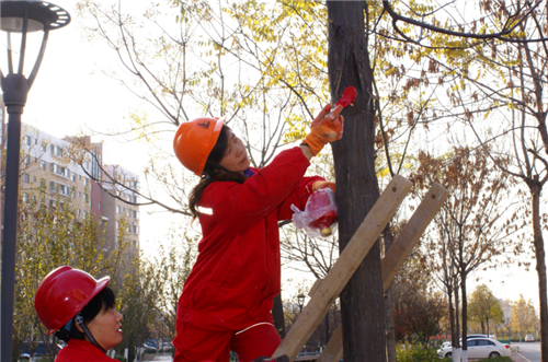确保修剪质量,工作人员严格按照树木修剪操作规程,用手锯或高枝剪工具